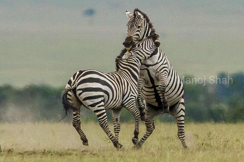 Male Zebra biting  another male and rearing up in a fight for the females
