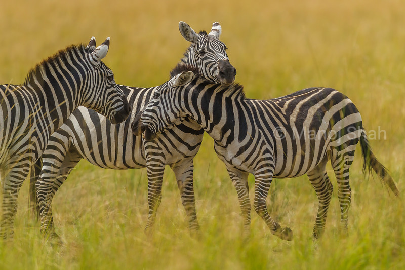 Zebras greeting in Masai Mara.