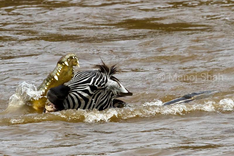 Crocodile attacking Zebra