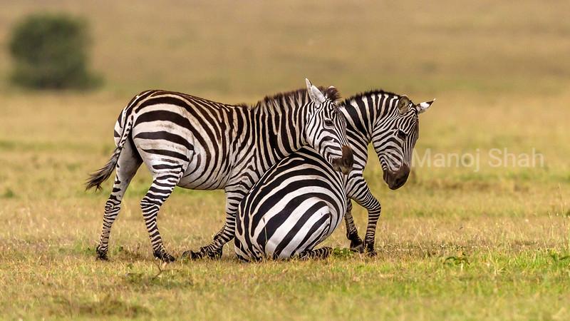 Zebra infamt greeting mother in Masai Mara.