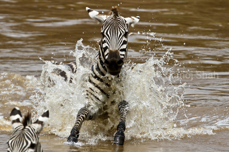 Zebras running through water