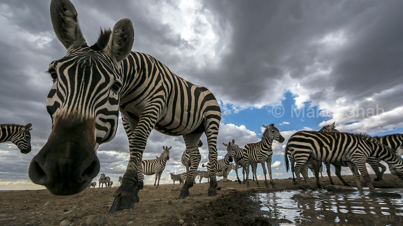 Zebras going for water at a waterhole to quench their thirst