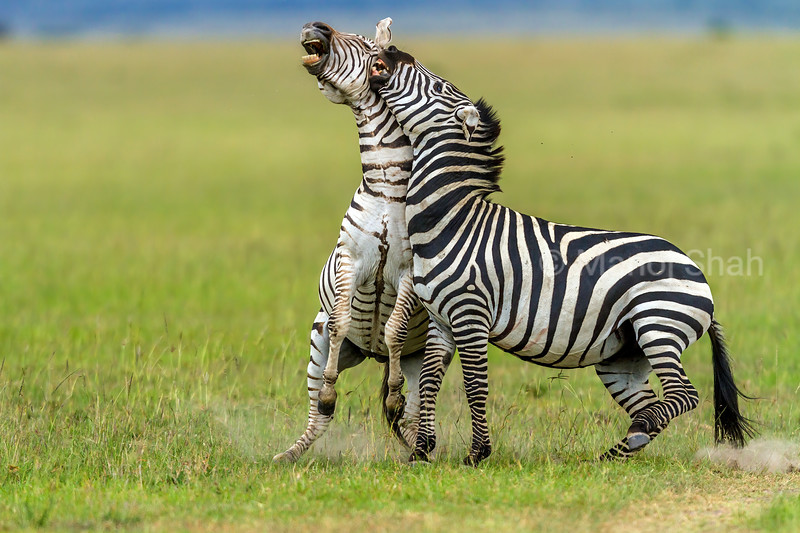 Zebras start duelling for supremacy in Masai Mara.