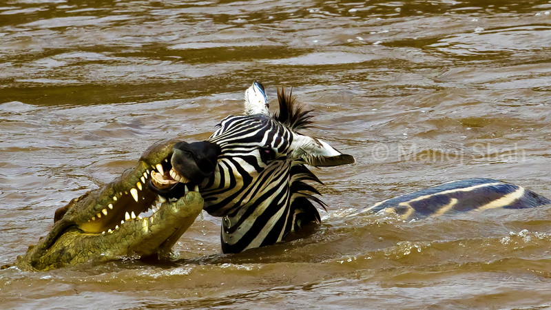 Crocodile attacking Zebra