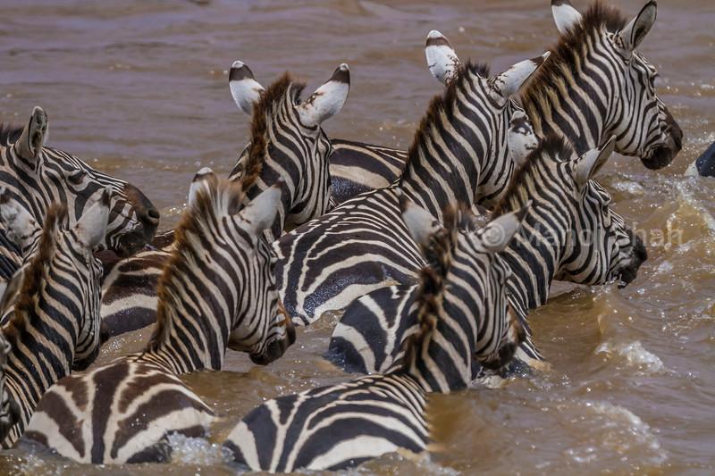 Zebra crossing the Mara River in a hurry in Masai Mara.