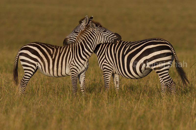 Zebras having a 360 field of view collectively.