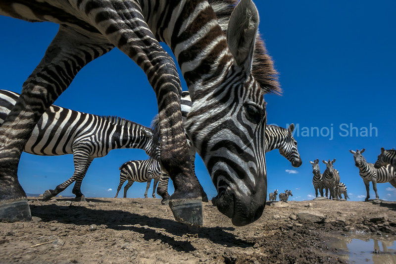 Zebras going for a water hole to quench their thirst