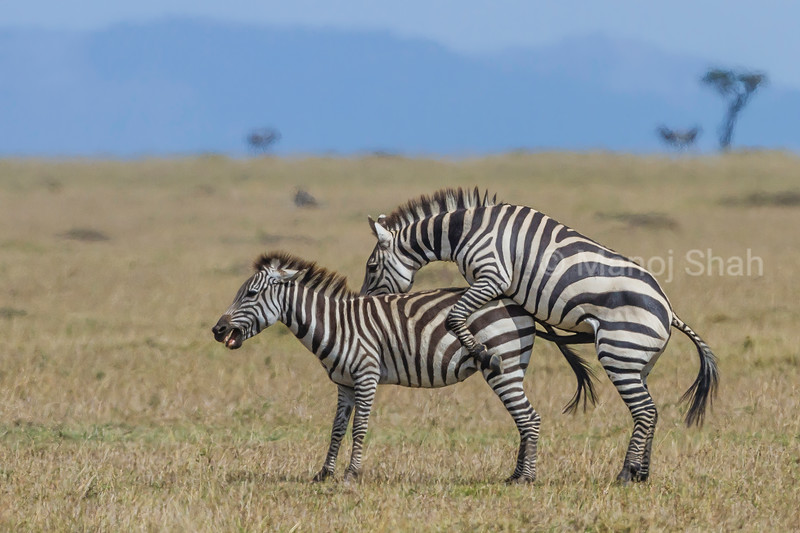 Zebras copulating in masai Mara savanna.