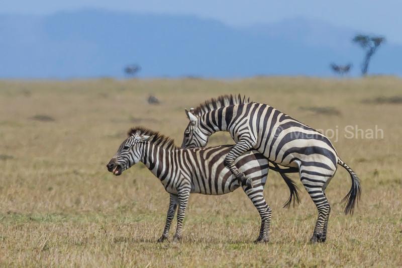 Zebras copulating in masai Mara savanna.