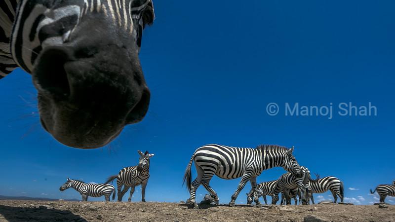 Zebra herd in Laikipia.