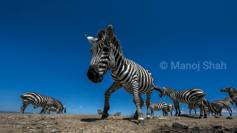Zebra herd at a waterhole in Laikipia.