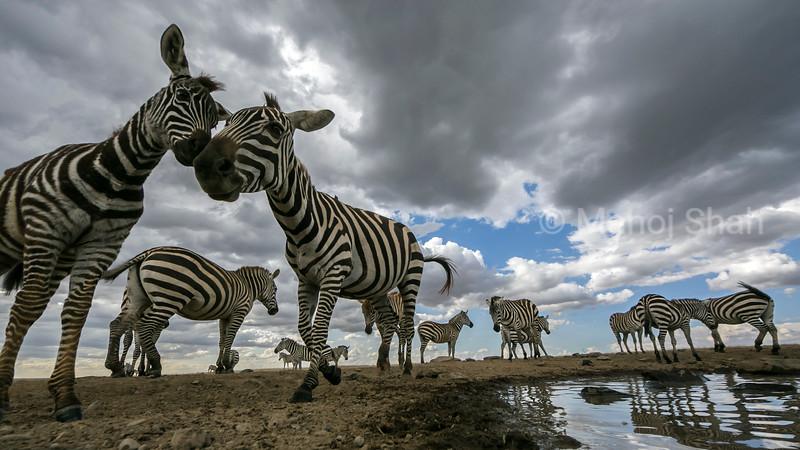 Zebras grooming at a waterhole in Laikipia.