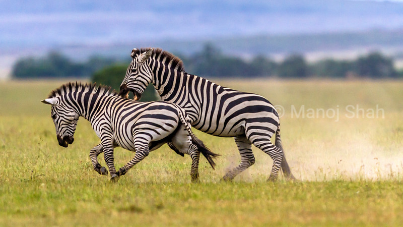 Male Zebras duelling for supremacy in Masai Mara,