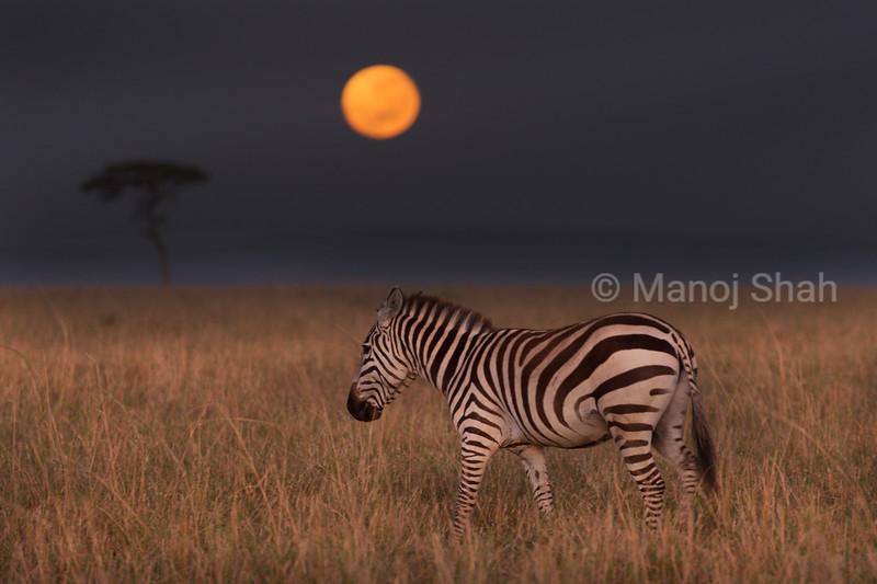 Zebra grazing in moonlight
