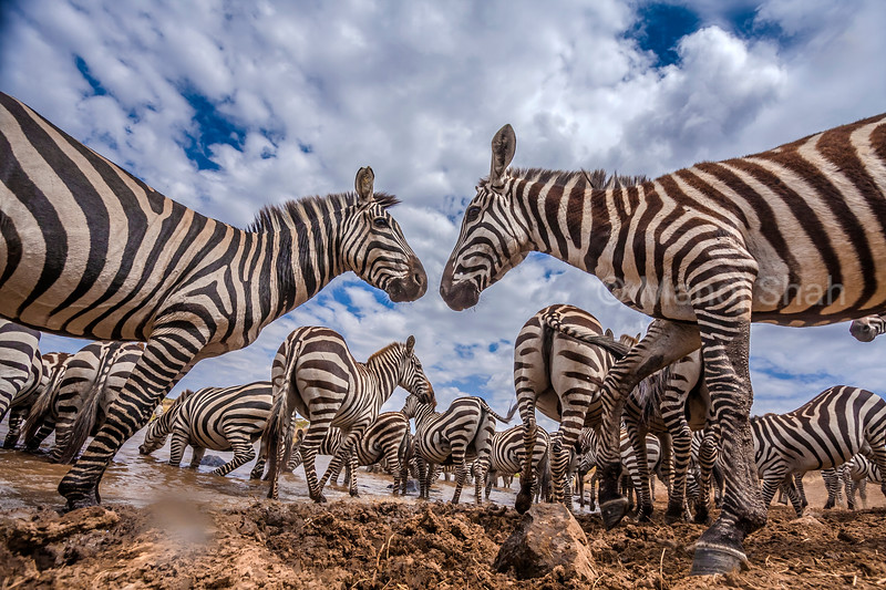 Behaviour of a zebra herd in Masai Mara