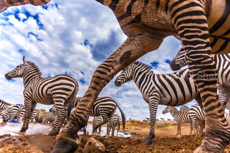 Hidden camera captures a zebra herd at the Mara River.