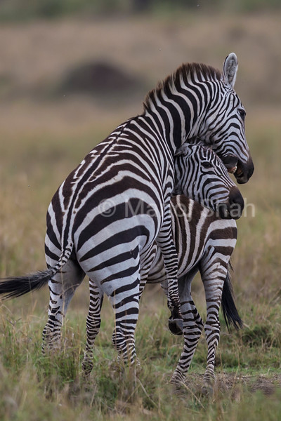 Male Zebras in a playful mood