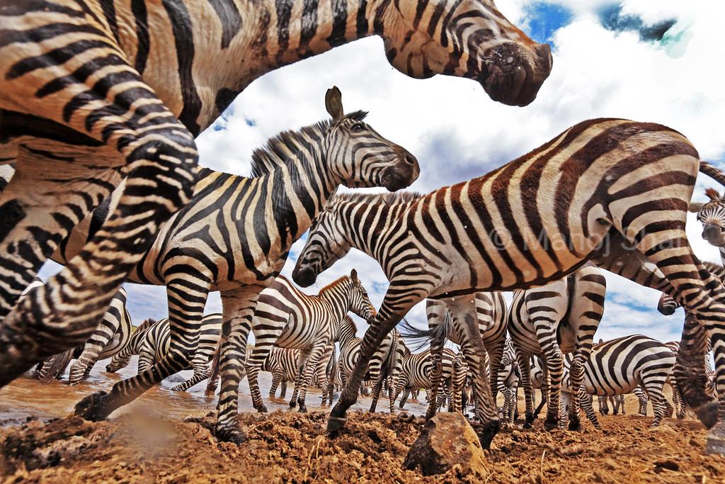 An ants eye view of Zebras