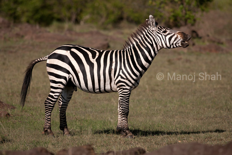 Burchell's Zebra smelling the environment air of Masai Mara Savannah.