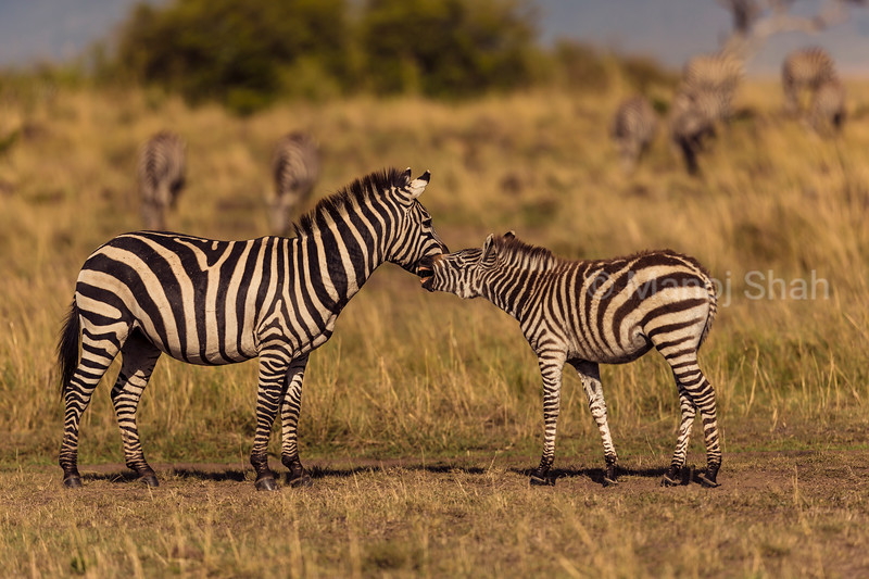 Zebra mother greeting foal