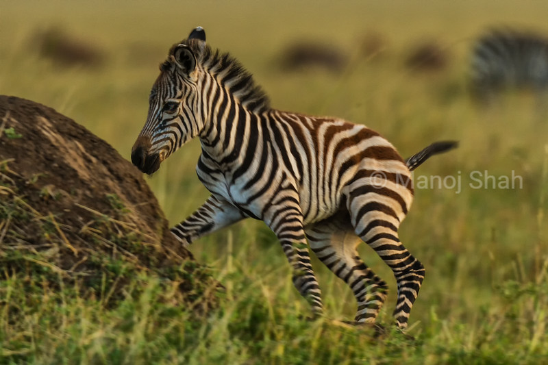 Zebra foal playing with mother grazing nearby
