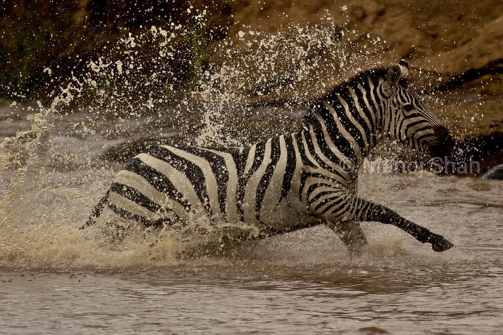 Zebra running in river