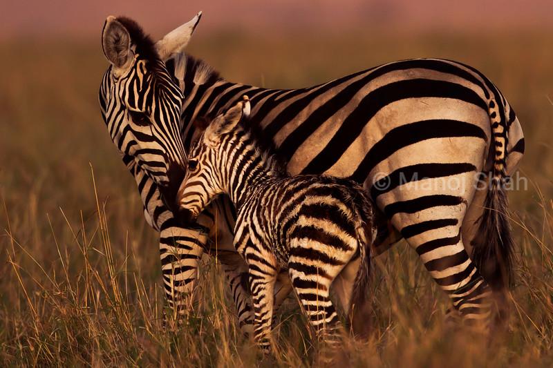 Zebra with baby
