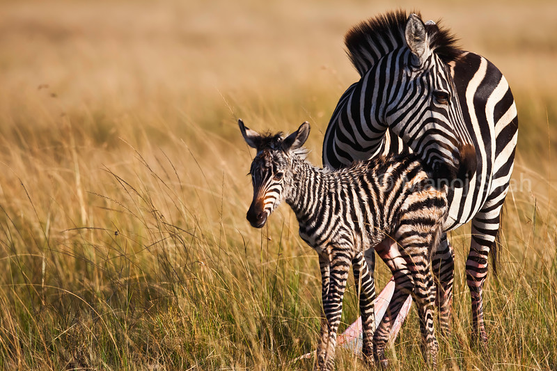 Zebra  and new born baby