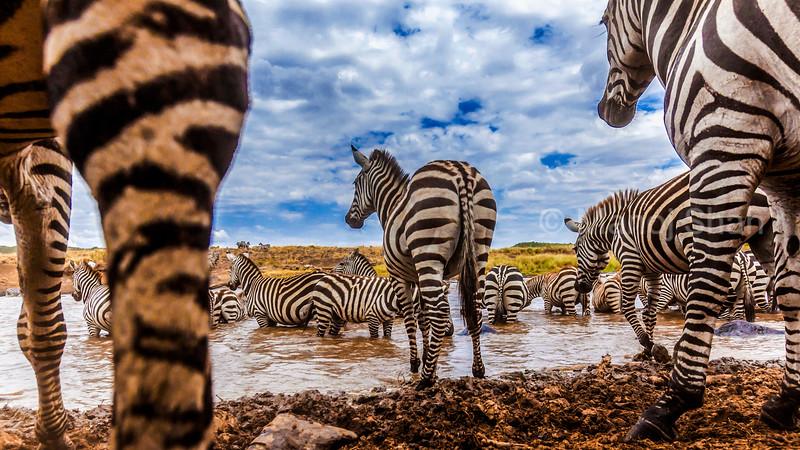 Zebras - herd at the river captured with hidden camera - Masai Mara National Reserve, Kenya