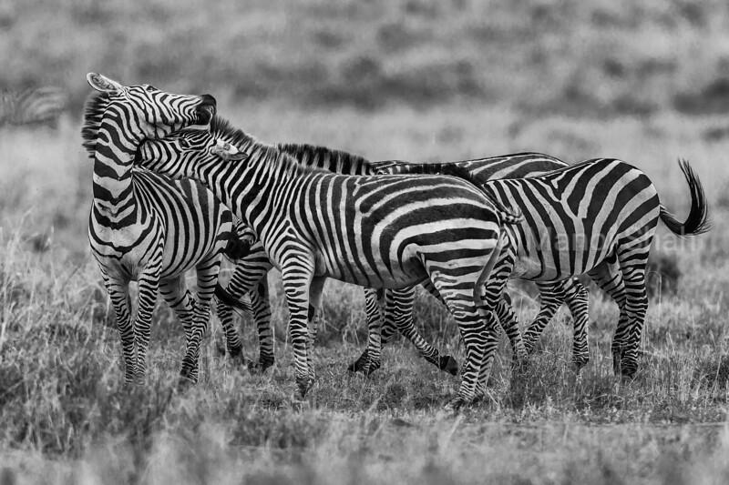 Zebras grooming in Masai Mara