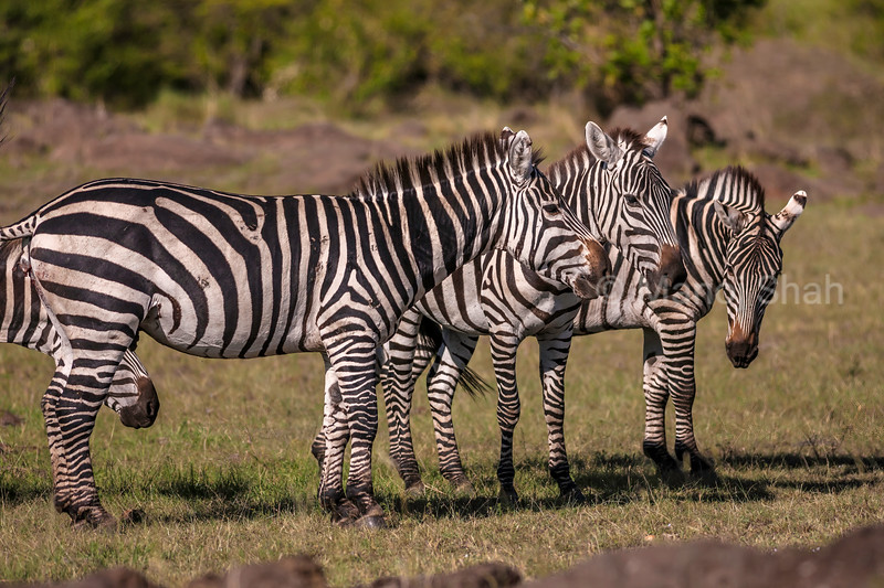 burchell's zebra meet in Masai Mara.