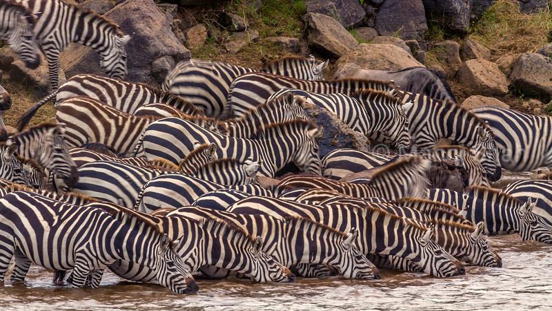 Zebra herd drinking water from Mara River in Masai Mara.