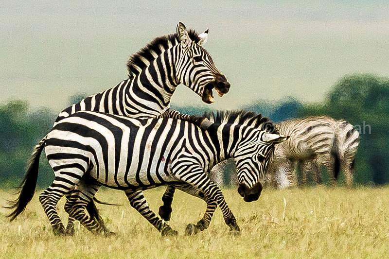 Male Zebra fighting another male