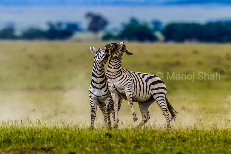 Male Zebras - zebra stallions play fighting - Masai Mara National Reserve, Kenya