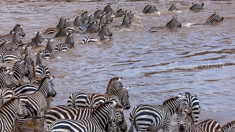The zebras start to cross the Mara River in Masai Mara/