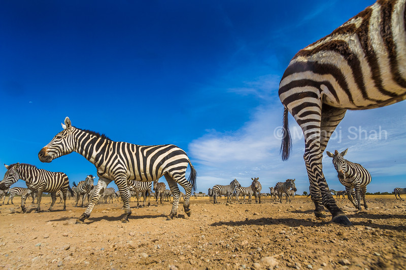 Zebra herd on the move in Laikipia, Kenya