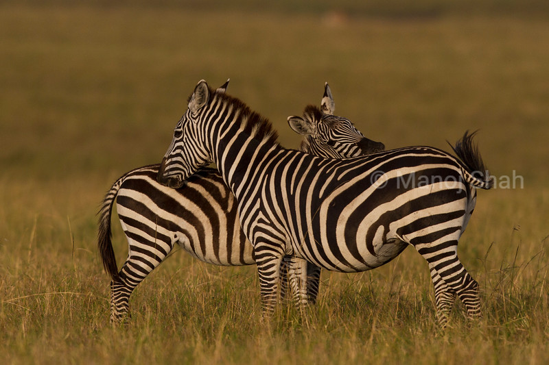 Two Zebras grooming each other.
