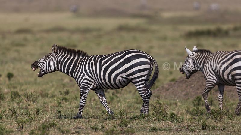 Zebras braying.