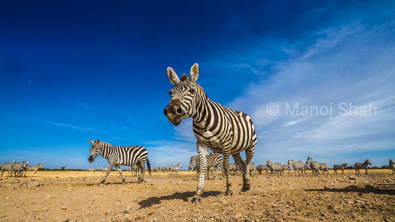 Zebra smelling the air in Laikipia, Kenya