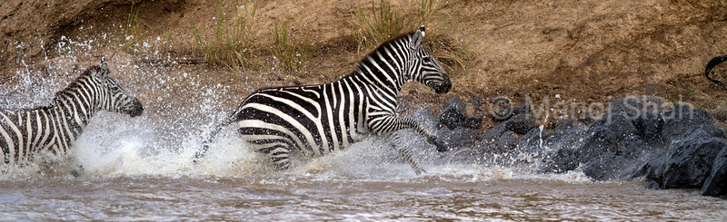Zebras running out of the river