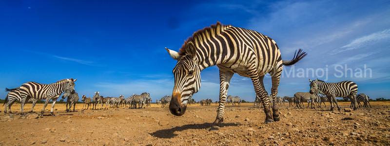 Zebra herd in Laikipia, Kenya