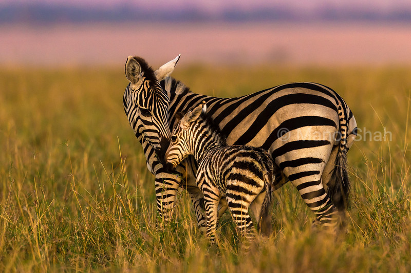 Mother admiring her baby foal in Masai Mara plains.