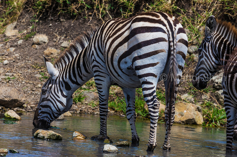 Zebra Drinking water from a spring
