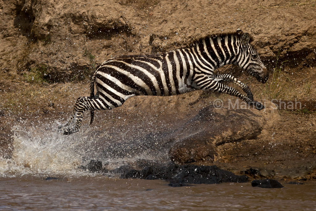 Zebra running out of the river