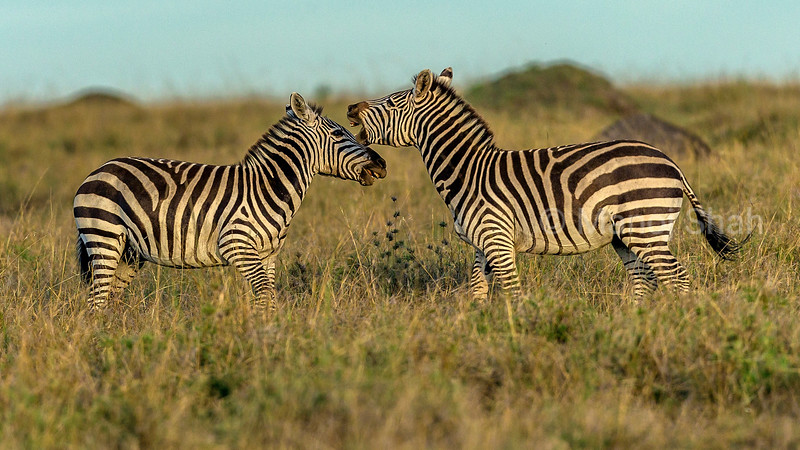 Zebra males duelling for supremacy to mate with a female in Masai Masa.