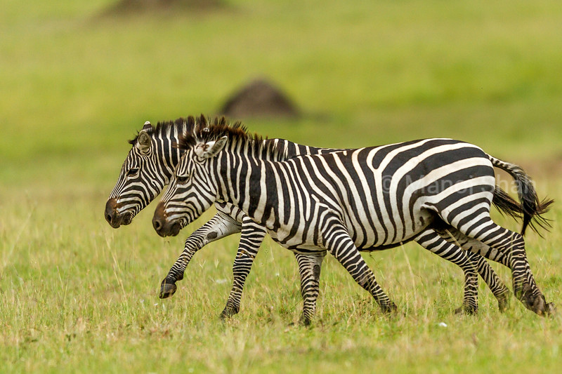 2 Zebra males in a fighting mood in Masai Mara.