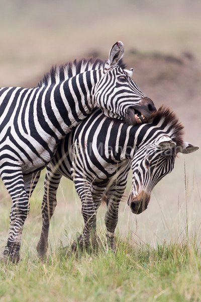 Male Zebras fighting