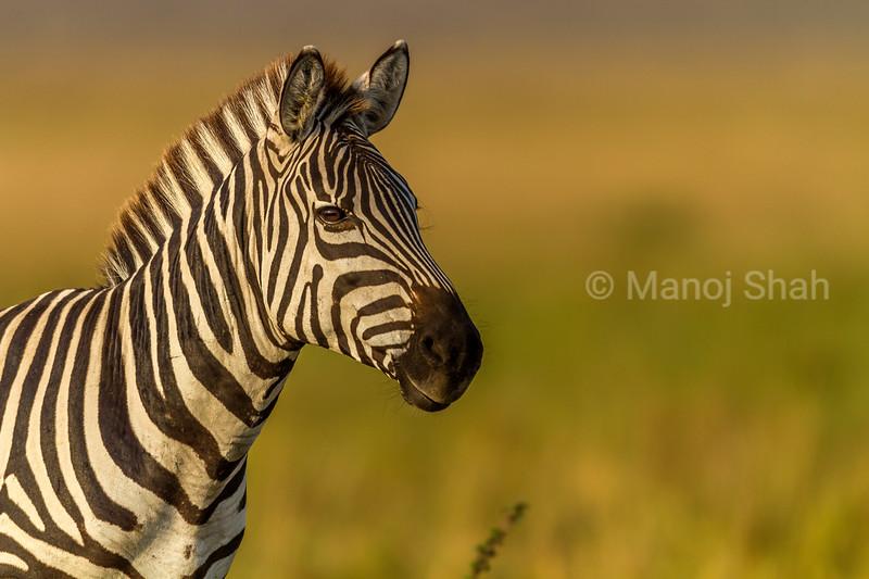 Common zebra portrait in Masai Mara.