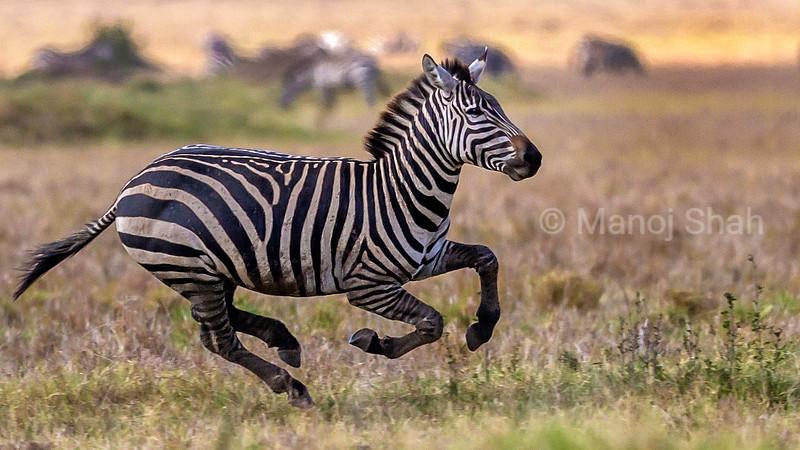 zebra galloping like a horse in Masai Mara.