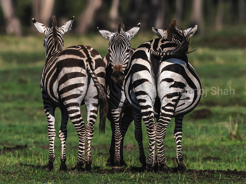 Zebras standing to cover 360 digrees of view.